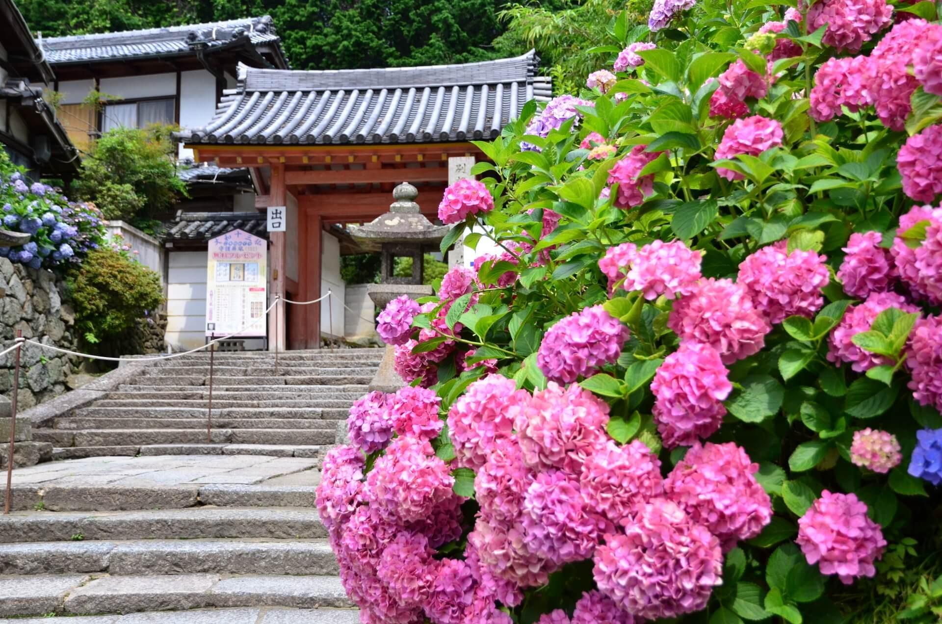 В Японии в разгаре фестиваль гортензий